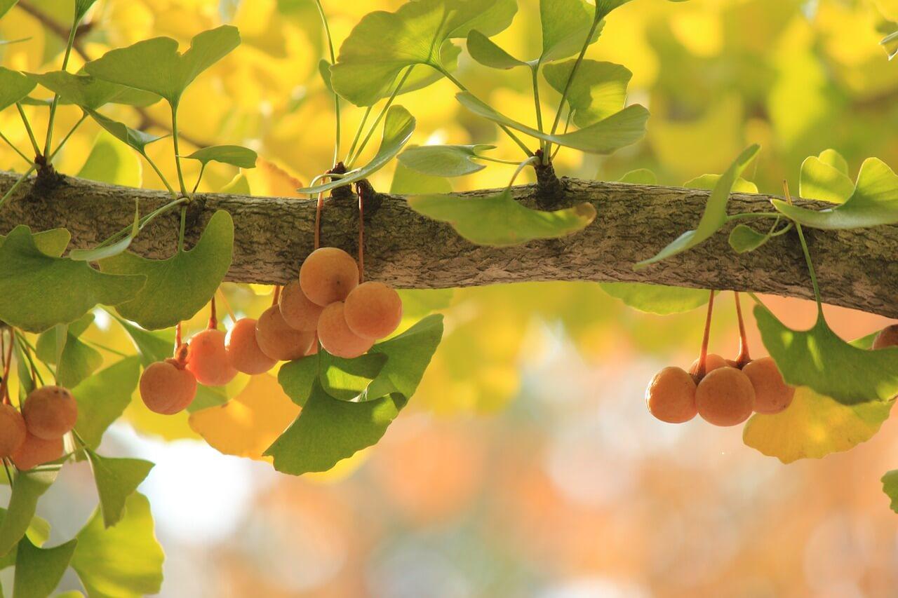 Гинко билоба – Ползи, прием и възможни странични ефекти
