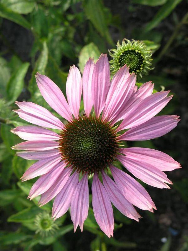 Пурпурна ехинацея - Класната стая и силен имунитет