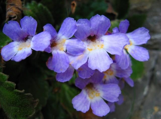 Родопски силивряк защитен вид растение