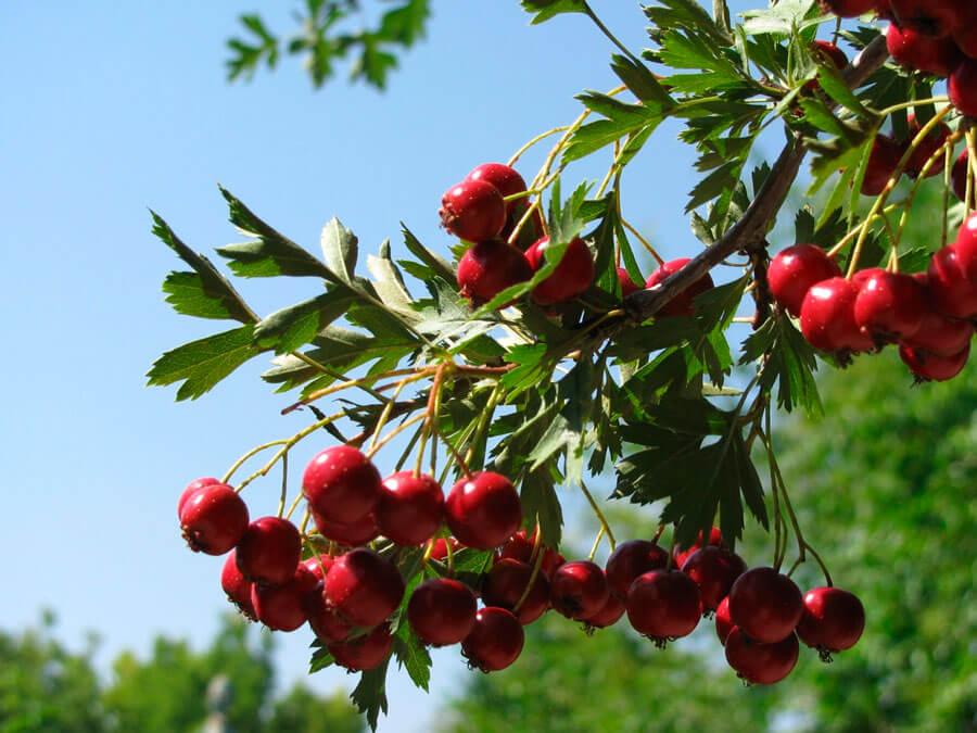 Глог (Crataegus monogyna) - среща се като храст или дърво.