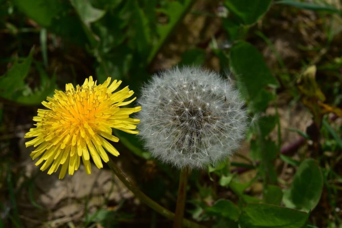Глухарче (Taraxacum) - цъфти в жълти цветове и след прецъфтяване образува лесно пренасяща се плодосемка.