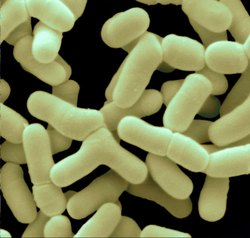 Bifidobacterium-bifidum - обитават чревния тракт у хората. Подпомагат храносмилането и взаимодействат с имунната система.