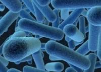 Lactobacillus-bulgaricus - добрата бактерия в киселото мляко - снимка.