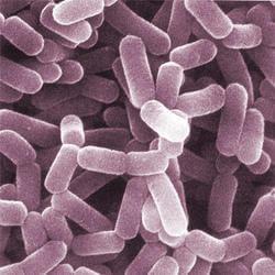 Lactobacillus-casei е от добрите бактерии. Потиска развитието на хеликобактериите