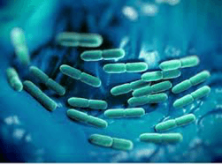 Lactobacillus rahmnosus е добра бактерия - подобрява имунитета и снижава риска от алергии.