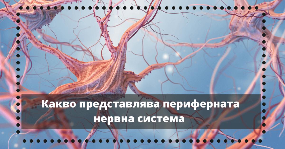 Перфиерна нервна система